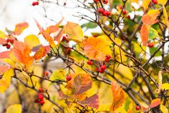 Free Hawthorn Bush, Red Berries, Yellow Leaves Stock Photo - 126137970