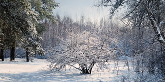 Hawthorn bush in snowy woods Royalty Free Stock Photography
