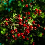 Hawthorn bush, tree, with bright red berries. stock photos