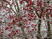Hawthorn bush in winter. Red crop on snowy branches royalty free stock images