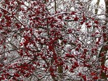 Hawthorn bush in winter. Red crop on snowy branches stock photography