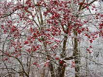 Hawthorn bush in winter. Red crop on snowy branches royalty free stock image