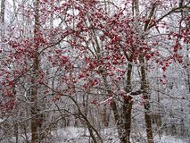 Hawthorn bush in winter. Stock Photography