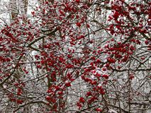 Hawthorn bush in winter. Red crop on snowy branches stock photo