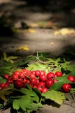 Hawthorn Stock Photography