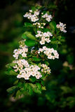 Hawthorn, common (Crataegus monogyna). In flower close-up Royalty Free Stock Photos