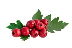 Hawthorn or common hawthorn or Crataegus monogyna berrie on white background. Hawthorn or common hawthorn or Crataegus monogyna berries isolated on white stock photos