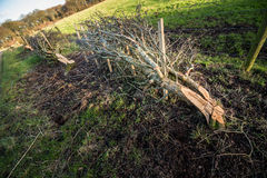 Hawthorn Coppicing Stock Image