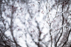 Hawthorn covered with hoarfrost Stock Photo