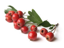 Hawthorn (Crataegus). Christmas symbol, well known for its health benefits royalty free stock photo