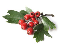 Hawthorn (Crataegus) Royalty Free Stock Photography
