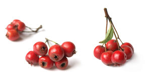 Hawthorn (Crataegus). Christmas symbol, well known for its health benefits royalty free stock photography