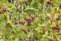 Hawthorn (Crataegus) berries Stock Photography
