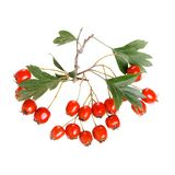 Hawthorn, Crataegus laevigata. Hawthorn berries with leaves isolated on white background. Close-up Royalty Free Stock Photography