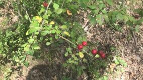 Hawthorn, Crataegus Microsperma stock video footage