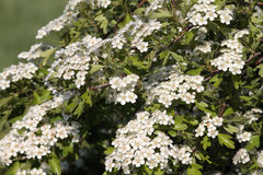 Hawthorn (Crataegus monogyna). Blossoms of Hawthorn (Crataegus monogyna Royalty Free Stock Photo