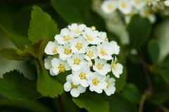 Hawthorn Crataegus Monogyna Blooming In Garden. Beautiful Flowers. Bush With Flowers Of Hawthorn Crataegus Monogyna Blooming In Summer Garden Close Up Royalty Free Stock Photos