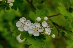 Hawthorn (Crataegus monogyna) blossom Royalty Free Stock Photo