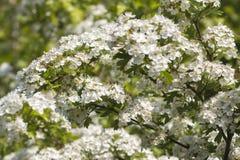Hawthorn  (Crataegus monogyna). Blossoms of Hawthorn , Crataegus monogyna Stock Photos