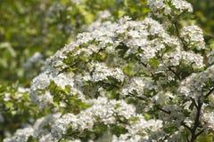 Hawthorn  (Crataegus monogyna) Stock Images