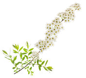 Hawthorn. (Crataegus monogyna) branch with flowers isolated on a white background Royalty Free Stock Images