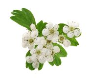 Hawthorn or Crataegus monogyna branch with flowers isolated on a white background royalty free stock photos