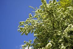 Hawthorn Crataegus monogyna royalty free stock photography