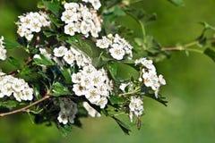 Hawthorn (Crataegus oxyacantha). The hawthorn shrubs (Crataegus oxyacantha) flower healing Stock Image
