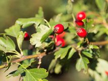 Hawthorn Crataegus shrubs with red berries in sunlight royalty free stock photo