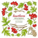 Hawthorn elements set Stock Image