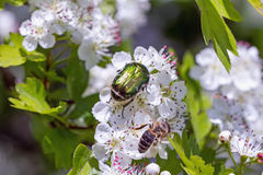 Hawthorn with flower beetles and bee Stock Photography
