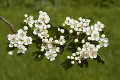 Hawthorn flowers, Stock Photo