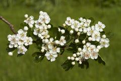 Hawthorn flowers, Stock Photo
