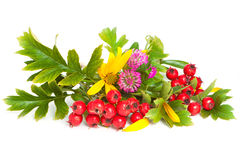Hawthorn, flowers of clover and Jerusalem artichoke. Juicy berries of hawthorn, flowers of purple clover and flowers of Jerusalem artichoke royalty free stock photography
