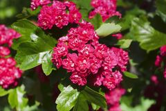 Hawthorn flowers Crataegus laevigata close-up. Crataegus laevigata Hawthorn: Cultivar `Paul`s Scarlet` with double-flowered  flowers carmine-red color close-up Stock Photography