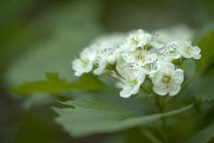 Hawthorn flowers with delicate white petals. Flowering branch of hawthorn with beautiful white flowers stock photo