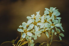Hawthorn flowers Royalty Free Stock Image