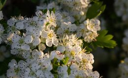 Free Hawthorn Flowers On The Bush In The Sunlight Royalty Free Stock Images - 220415839