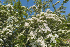 Hawthorn Flowers Stock Image