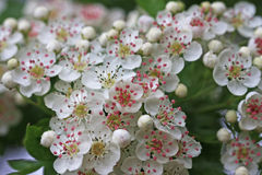 Hawthorn flowers Royalty Free Stock Images