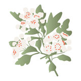 Hawthorn. Flowery hawthorn branch, vector illustration Royalty Free Stock Images