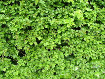 Hawthorn foliage. Fresh green spring leaves royalty free stock images