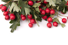Hawthorn frame Royalty Free Stock Photography