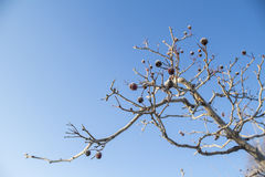 Hawthorn with frost Royalty Free Stock Images