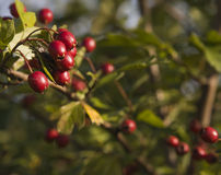 Hawthorn - fruit of autumn Royalty Free Stock Image