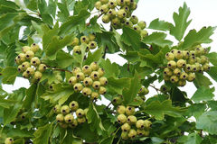 Hawthorn fruit. The immature fruits of hawthorn on tree Royalty Free Stock Images