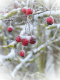 Hawthorn fruit, Lithuania. Red hawthorn fruit in frost in winter Royalty Free Stock Images