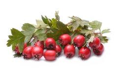 Hawthorn fruit on white background Stock Photography