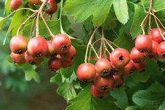 Hawthorn fruits Royalty Free Stock Photos
