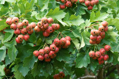 Hawthorn fruits Stock Photography